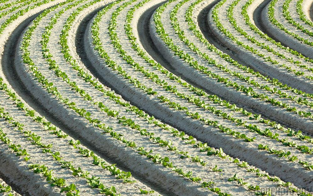 A crop of lettuce growing in rows on a vegetable farm.<br /> <br /> LICENSING: This image can only be licensed through SpacesImages. Click on the link below:<br /> <br /> http://tinyurl.com/chzgdqb