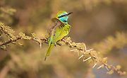 Green Bee-eater (Merops orientalis) perched on a branch, These birds are widely distributed across sub-Saharan Africa from Senegal and the Gambia to Ethiopia, the Nile valley, western Arabia and Asia through India to Vietnam. Photographed in Israel in December