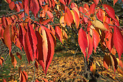Red and orange leaves of cherry tree in autumn