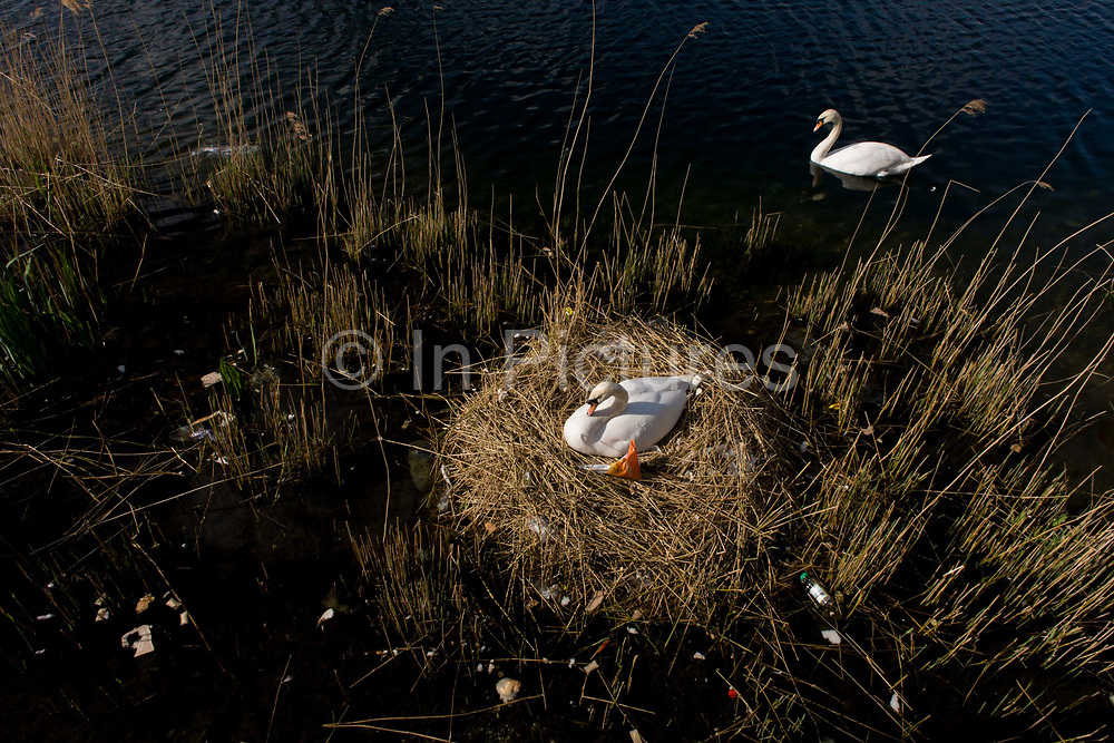 Guarded by the male cob, a female mute swan (pen) incubates her eggs on a nest surrounded by plastic bags waste, in an urban water basin. She shares the nest with wrappers and bottles, bags and cans tossed from a nearby walkway and perhaps drifted on the water from this urban basin in London's Docklands. The mute swan, which is the white swan most commonly seen in the British Isles, will normally mate at anytime from spring through to summer, with the cygnets being born anytime from May through to July. A swan's nest takes 2-3 weeks and the egg laying process begins with an egg being laid every 12-24 hours. They will all be incubated (ie sat on to start the growth process) at the same time with hatching usually 42 days (6 weeks) later.