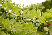 Unripe plum branch.
