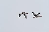 Graylag goose (Anser anser), Lake Tysslingen, Sweden. March 2009. Mission: Sweden (crane and swan)