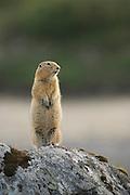 Arctic Ground Squirrel in Denali National Park