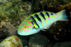 Thalassoma hardwicke, Hardwicks Junker, bunter Lippfisch, Sixbar wrasse, Tulamben, Bali, Indonesien, Indopazifik, Indonesia, Asien, Indo-Pacific Ocean, Asia