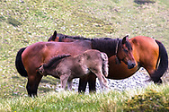Foal suck from a mare