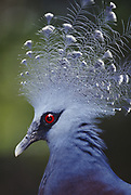 Crowned-Pigeon   <br />Goura sp<br />NEW GUINEA
