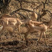 20211003 Maun Botswana <br /> Moremi nationalpark Okavangodeltat<br /> Impala antilop<br /> <br /> <br /> ----<br /> FOTO : JOACHIM NYWALL KOD 0708840825_1<br /> COPYRIGHT JOACHIM NYWALL<br /> <br /> ***BETALBILD***<br /> Redovisas till <br /> NYWALL MEDIA AB<br /> Strandgatan 30<br /> 461 31 Trollhättan<br /> Prislista enl BLF , om inget annat avtalas.