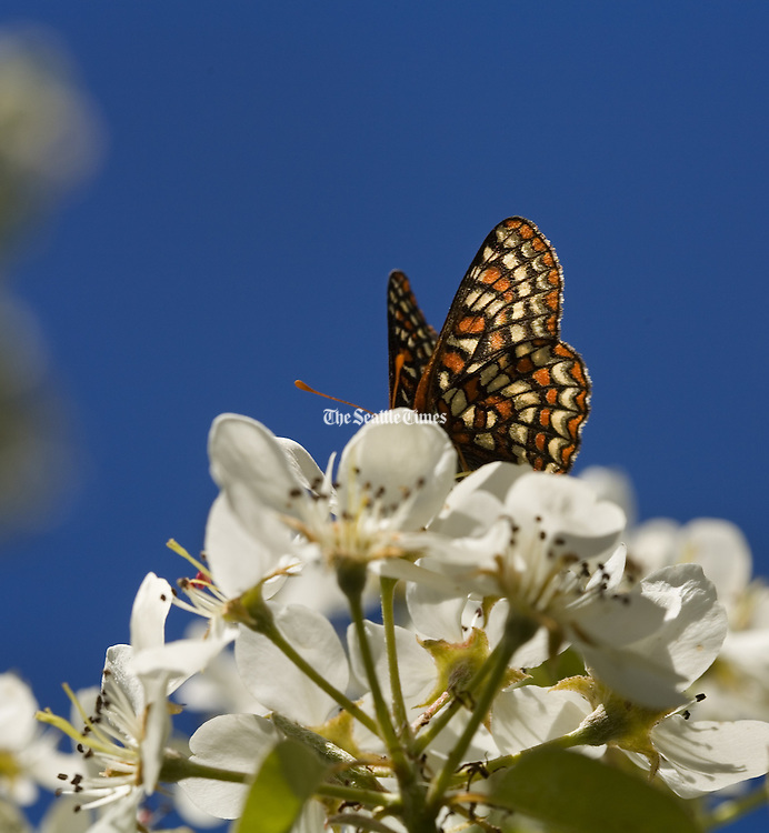 A butterfly lands on crabapple blossoms. (Benjamin Benschneider / The Seattle Times).