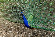 A peacock strutting his stuff. Sydney, Australia