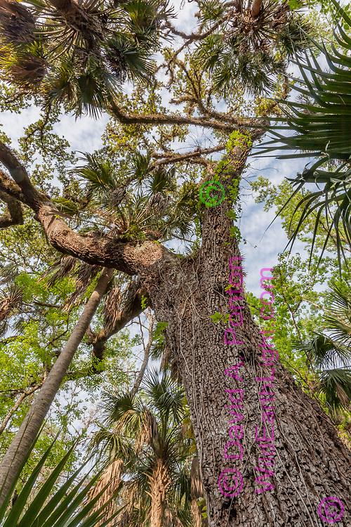View up oak tree with sabal palms, Highlands Hammock State Park, Florida, © David A. Ponton