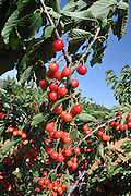 Cherry Orchard close up of ripe Cherries on a tree. Photographed on Hermon mountain, Golan Heights, Israel