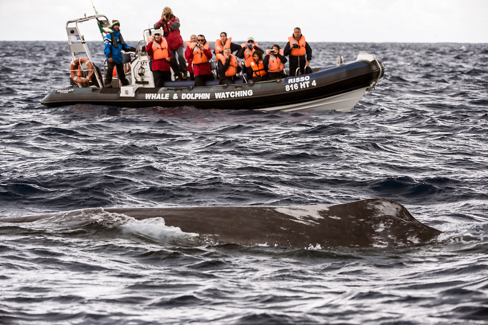 Passengers on a whale watching boat observe a Sperm Whale, Physeter macrocephalus, swim by offshore Pico Island, Azores, Portugal, North Atlantic Ocean.