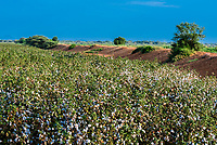 Cotton field, Dassanach tribe, Omo Valley,  Southern Nations Nationalities and People's Region, Ethiopia.