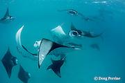 reef manta rays, Manta alfredi (formerly Manta birostris ), mass feeding on plankton, Hanifaru Bay, Baa Atoll, Maldives ( Indian Ocean )