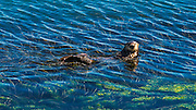 Sea Otters (Enhydra lutris), Morro Bay, California USA