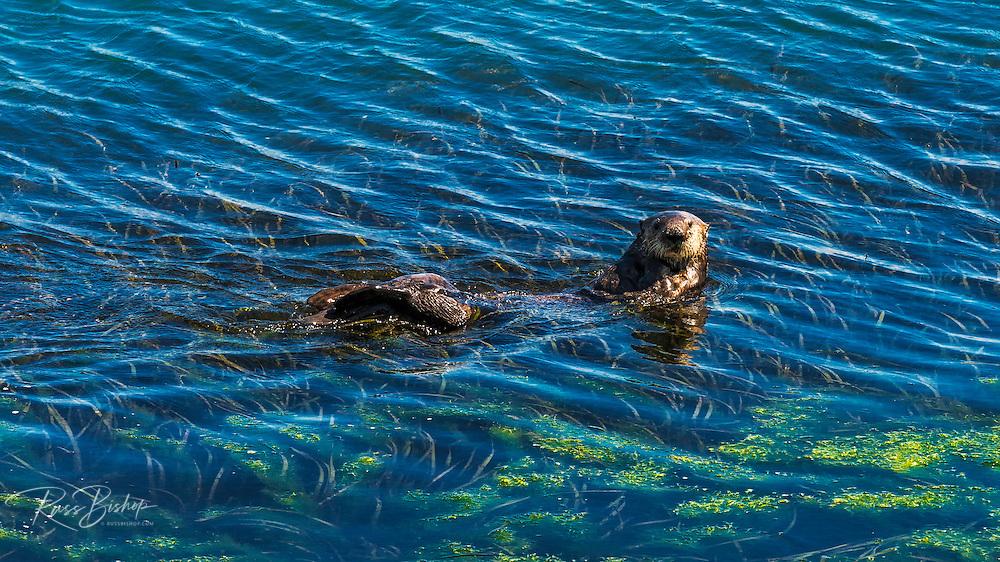 Sea Otters (Enhydra lutris), Morro Bay, California USA