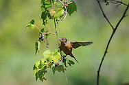 This American Robin was getting some food near Eldridge Park in Elmira, NY. It really seemed to like these wild grapes.