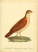 Colombi-perdrix roux-violet from the Book Histoire naturelle des oiseaux d'Afrique [Natural History of birds of Africa] Volume 6, by Le Vaillant, Francois, 1753-1824; Publish in Paris by Chez J.J. Fuchs, libraire 1808
