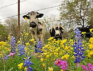 Texas bluebonnet's along a rurl highway in Atscosa County Texas