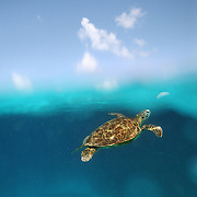 A split level view of a Sea Turtle swimming underwater near Lady Elliot Island, the southern-most coral cay of the Great Barrier Reef, Australia.