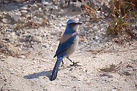 Scrub jay in Highlands County near Lake June-in-Winter. This one landed next to the car as we were getting closer to the lake.