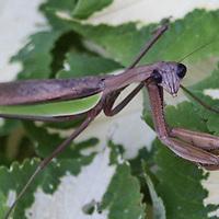 Praying Mantis on hosta plant