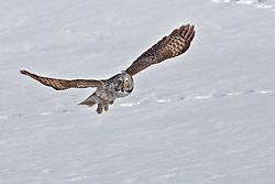 In Flight, Great Grey Owl, Jackson Hole, Wyoming
