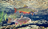 Brook Trout (with Klamath River Rainbow Trout)<br /> <br /> Patrick Clayton/Engbretson Underwater Photography