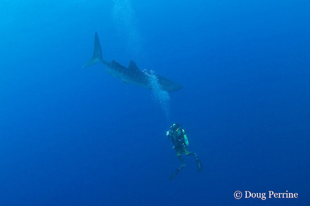 Gladden Spit & Silk Cayes Marine Reserve manager Shayne Pech notes identity of a whale shark, Rhincodon typus, that passes by while he is conducting a fish count for the monthly SPAG survey in the reserve off Placencia, Belize, Central America ( Caribbean Sea )