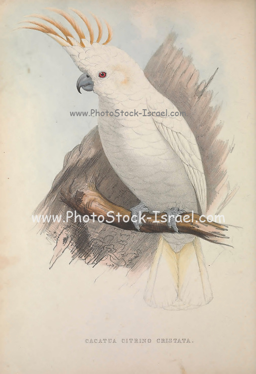 Citron-crested cockatoo (Cacatua citrino) from Zoologia typica; or, Figures of new and rare animals and birds described in the proceedings, or exhibited in the collections of the Zoological Society of London. By Fraser, Louis. Zoological Society of London. Published London, March 1847