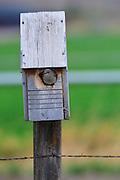 Female bluebird tends to her nest, Montana.