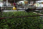 Banana hands waiting to be classified inside the processing plant. COOBANA, Finca 51, Changuinola, Bocas del Toro, Panamá. September 3, 2012.