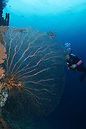 Gorgonian Venus Sea Fan, Gorgonia flabellum, Bali Indonesia