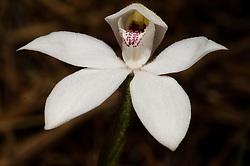 Lyall's orchid, Caladenia lyallii