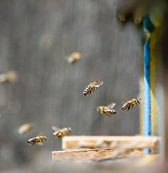 THEMENBILD - Bienen. Das Bild wurde am 20. Juli 2013 aufgenommen. im Bild fliegende Westliche Honigbiene oder Europaeische Honigbiene (Apis mellifera) // THEME IMAGE FEATURE - Bees. The image was taken on july, 20th, 2013. Picture shows flying Western Honey Bee or European Honey Bee (Apis mellifera) , AUT, EXPA Pictures © 2013, PhotoCredit: EXPA/ Michael Gruber