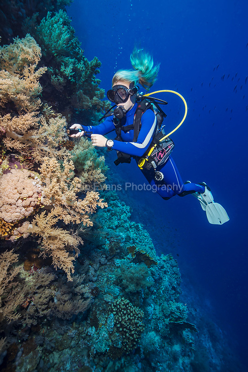 Colorful Red Sea Wall and Diver, Red Sea, Egypt.