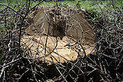 stump of fresh cut down tree