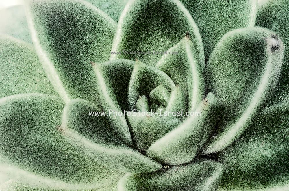 Digitally enhanced image of a Close up of Houseleek (Sempervivum tectorum)