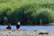 A mature (probably parent) and and an immature Bald Eagle (Halietus leucocephalus) sit on the bank of Big Beef Creek where it flows into the Hood Canal, Seabeck, WA, USA
