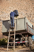 Farmer at grape harvest time, putting grapes on truck, Elqui Valley, Chile