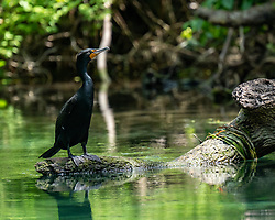 Double-Crested Cormorant standing on a log on the Silver River in Ocala Florida.