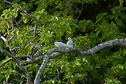 White Fairy Tern, Gygii alba, Henderson island (World Heritage site), Pitcairn Group<br />