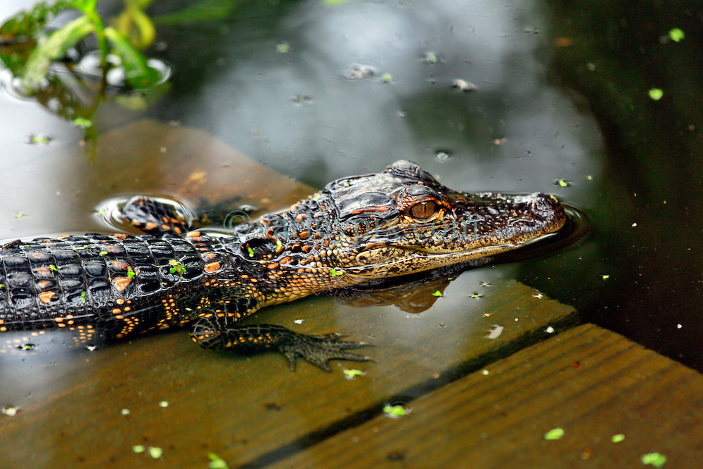 02 June 2014. Jean Lafitte National Historic Park, Louisiana.<br /> A young alligator in the swamp at the Barataria Preserve wetlands south or New Orleans.<br /> Charlie Varley/varleypix.com