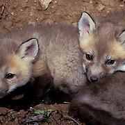 Red Fox, (Vulpus fulva) Young kits in den. Spring. Captive Animal.