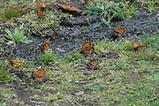Monarch Butterfly, Danaus plexippus, El Rosario Nature Reserve, group drinking at stream, water, migration, roosting site, lifecycle metamorphosis orange pattern wing