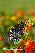 03004-011.19 Pipevine Swallowtail Butterfly (Battus philenor) male on Red Spread Lantana (Lantana camara) Marion Co., IL