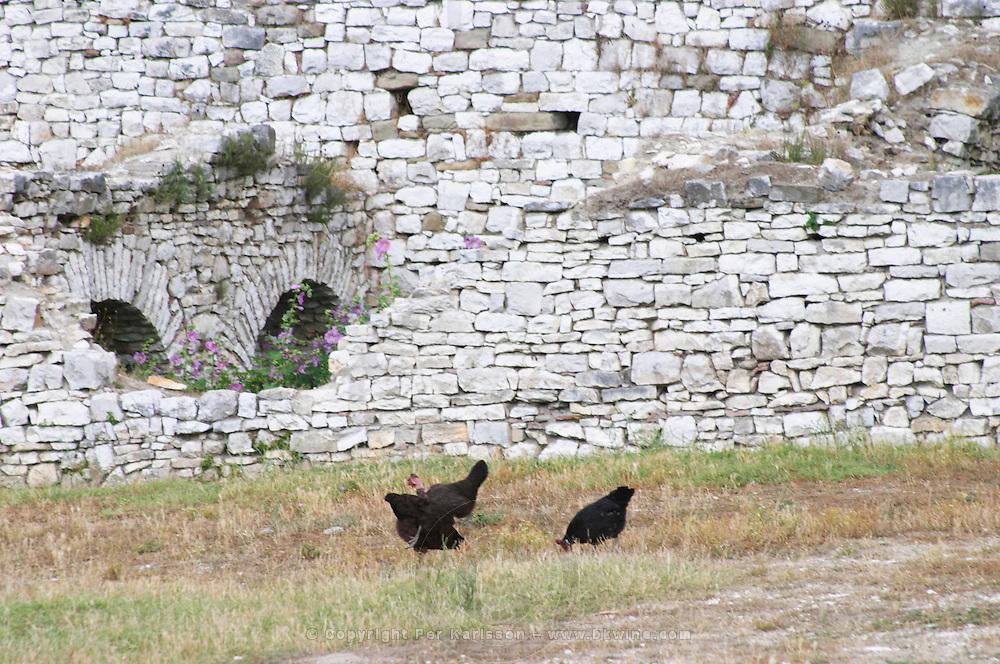 Black hen chicken picking for food. Berat upper citadel old walled city. Albania, Balkan, Europe.