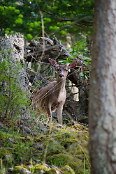 Columbian Blacktail Deer (Odocoileus hemionus columbianus), Jones Island State Park, San Juan Islands, Washington, US