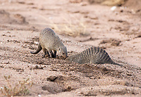 Two Banded Mongooses, Mungos mungo, dig in sandy soil beside a dry creekbed in Serengeti National Park, Tanzania.