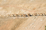 Ethiopia, Tigray Region, Yeha, A herd of Camels